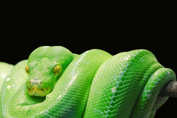 A green python ready to use HFST :-D